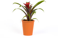 Guzmania Flower In A Pot Royalty Free Stock Images