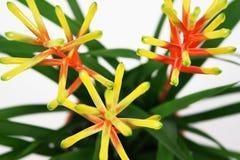 Guzmania flower on white background. royalty free stock photography