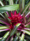 Guzmania Limones Flower Royalty Free Stock Images
