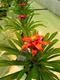 Guzmania Lingulata blomma Royaltyfri Fotografi