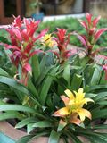 Guzmania lingulata flower. Stock Image
