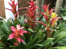 Guzmania lingulata flower. Stock Photography