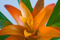 (Guzmania lingulata L.) Scarlet star. Stock Photo