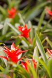 Guzmania magnifica flower Stock Images