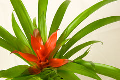 Guzmania minor Rondo Royalty Free Stock Photos
