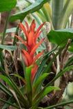 Guzmania-Nadelbaum, Bromeliefamilie Bromeliaceae Stockfotografie