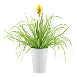 Guzmania plant in pot isolated on white Royalty Free Stock Photo