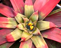 Guzmania sanguinea Stock Photo