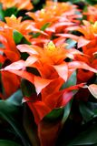 Guzmania sp. - favourite ornamental indoor plant Stock Images