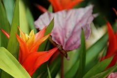 Guzmania Royalty Free Stock Images