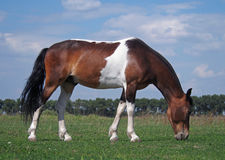 Guzul horse grazes on to the meadow Stock Image