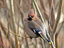 Guzzled thick  waxwing. Thick ruffled up cedar waxwing on a branch of a tree Royalty Free Stock Photo