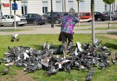 GVARDEYSK, ROSJA Starsza kobieta robi sposobowi przez paczki błękitni rockowi gołębie fotografia royalty free