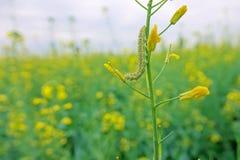 Gwałt gąsienica i kwiat zdjęcia stock