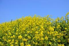 Gwałt kwitnie na nadrzecznego, japończyka krajobrazie w Marzec/ Fotografia Stock