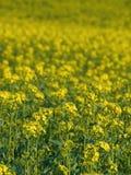 gwałt oleistych żółty Zdjęcie Stock
