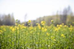 Gwałt rośliny kwitnienie zamknięty w górę tła pole przeciw obraz royalty free