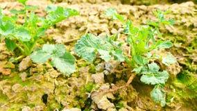 Gwałt rośliny pole Wiosny colza pole, małe młode rośliny rusza się w wiatrze Poruszony oilseed gwałt opuszcza nieregularnym popió zbiory