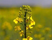 Gwałta kwiat na zamazanym tle rapeseed pole Plantacja nafciana roślina Produkcja biopaliwo Agrarny biznes Obraz Stock