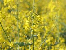 Gwałta kwiat na zamazanym tle rapeseed pole Plantacja nafciana roślina Produkcja biopaliwo Agrarny biznes Zdjęcia Stock