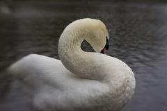 A white Swan preening on the edge of a pond stock photography
