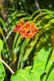 Gwatemala Rabarbarowy kwiat Zdjęcie Royalty Free