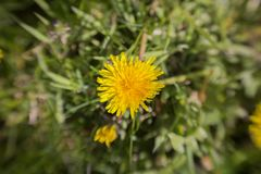 Dandelion in the grass on a summers day stock photo