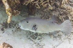 Gwiaździści pufferfish Fotografia Stock