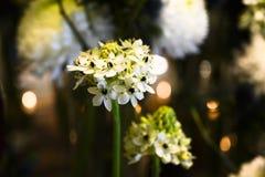 Gwiazda Betlejem kwiat, Ornithogallum umbellatum zdjęcie stock