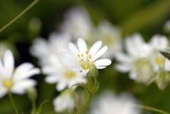 gwiazdnica kwiat Zdjęcie Royalty Free