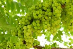 Gwiazdowa agrestowa owoc Obrazy Royalty Free