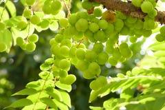 Gwiazdowa agrestowa owoc Fotografia Stock