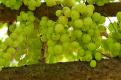 Gwiazdowa agrestowa owoc Obrazy Stock