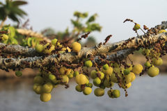 Gwiazdowa agrestowa owoc Zdjęcie Royalty Free