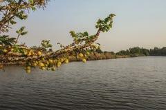 Gwiazdowa agrestowa owoc Fotografia Royalty Free