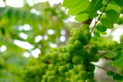 Gwiazdowa agrestowa owoc, jeden Tajlandia owoc Zdjęcia Stock