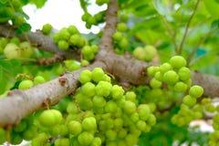 Gwiazdowa agrestowa owoc, jeden Tajlandia owoc Zdjęcia Royalty Free