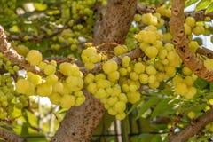 Gwiazdowa agrestowa owoc Phyllanthus acidus, znać jako Otaheite Obraz Royalty Free