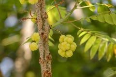 Gwiazdowa agrestowa owoc Phyllanthus acidus, znać jako Otaheite Zdjęcie Royalty Free