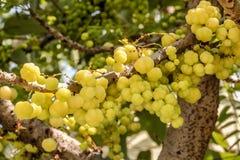 Gwiazdowa agrestowa owoc Phyllanthus acidus, znać jako Otaheite Fotografia Stock