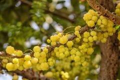 Gwiazdowa agrestowa owoc Phyllanthus acidus, znać jako Otaheite Obrazy Stock