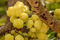 Gwiazdowa agrestowa owoc Phyllanthus acidus, znać jako Otaheite Obraz Stock