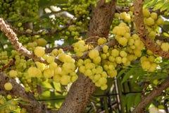 Gwiazdowa agrestowa owoc Phyllanthus acidus, znać jako Otaheite Zdjęcia Stock