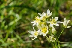 Gwiazdowa leluja znać także jako deathcamas lub gwiazdowy zigadene, Frémont, s «, zakłada w Kalifornia, południowy Oregon, (Toxi zdjęcie royalty free