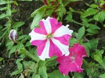 Gwiazdowa Różowa petunia zdjęcie stock