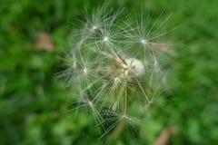 Gwiazdowa roślina w zielonym polu Zdjęcia Stock