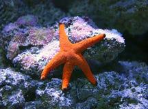 Gwiazdowa ryba Obrazy Stock