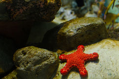Gwiazdowa ryba Fotografia Stock