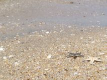 Gwiazdowa ryba na plaży bangsan Obraz Royalty Free