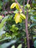 Gwiazdowe owoc Wiesza na drzewie Obrazy Stock